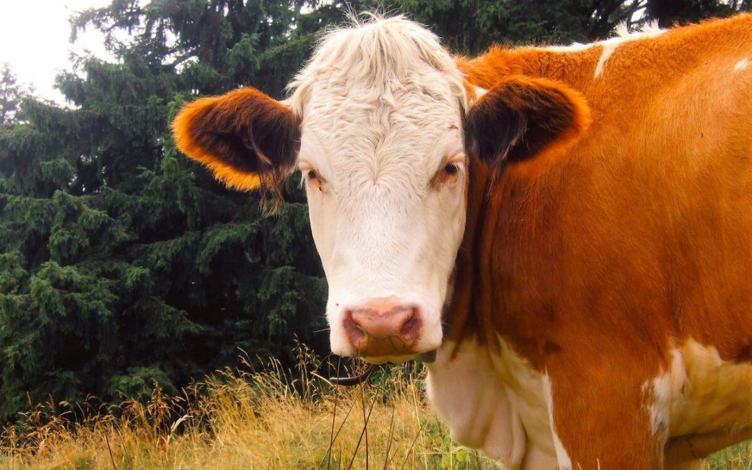 """Brown and White Cow - Foto de Klaus Hollederer - Utilizada para el artículo """"La verdad sobre la lecha - milk consumption consequences"""""""